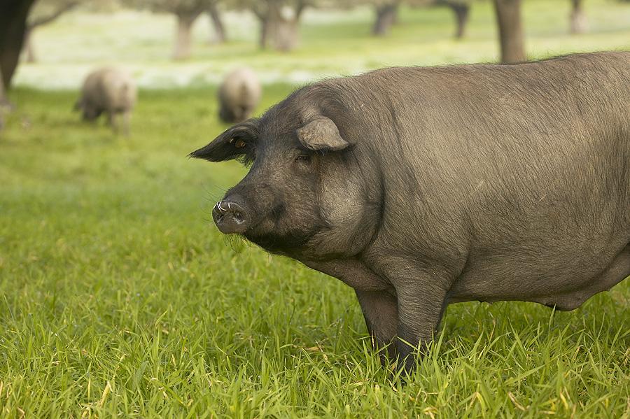 Resultado de imagen de imagenes del cerdo ibérico